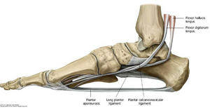 A láb hosszanti és haránt boltozatát a szalagrendszere és az izmok tartják fenn (https://www.studyblue.com/notes/note/n/ankle-and-foot-joints/deck/15412787)