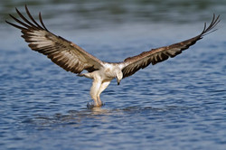 Hawk Catching Fish