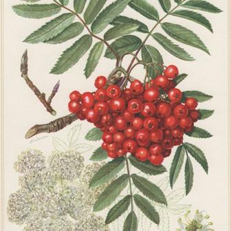 Rowan - A Árvore das Bruxas