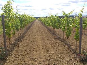 sadzonki winorosli dwuletnia winnica