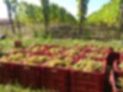 trzyletnia winnica sadzonki winorośli