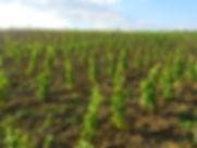 Sadzonki winorośli winnica w pierwszym roku