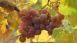 nalepsze sadzonki winorośli