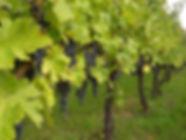 Dojrzała winnica sadzonki winorośli