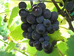 sadzonka winorośli