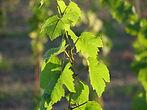 profesjonalne sadzonki winorośli