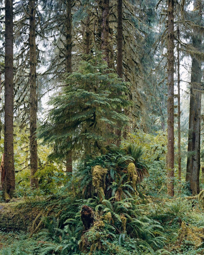 17676-6-17 Hoh Rain Forest, Olympic Nati