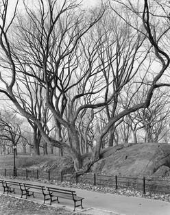 14802.1.12 American Elm, Central Park, N