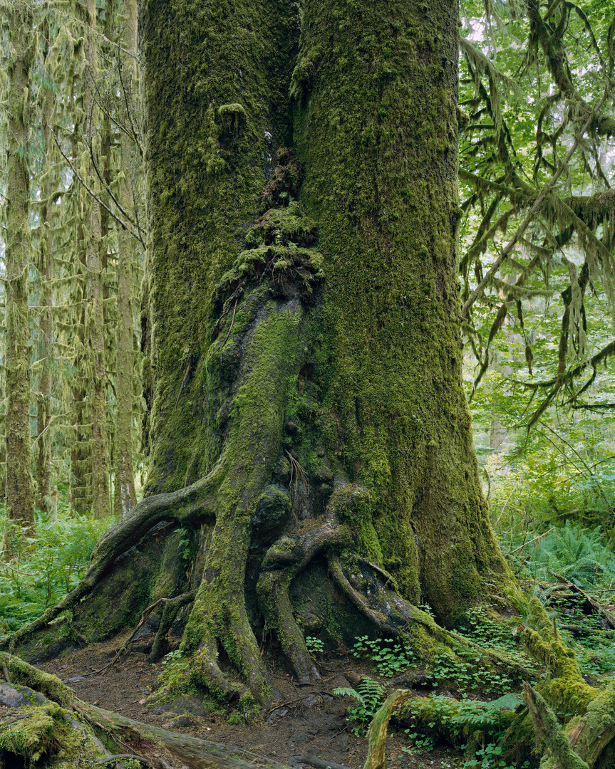 17691.6.17 Hoh Rain Forest, Olympic Nati