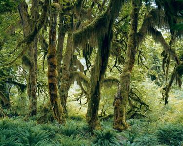 17693.6.17 Hoh Rain Forest, Olympic Nati
