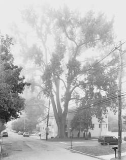 14591.9.11 Eastern Cottonwood Tree, Stat