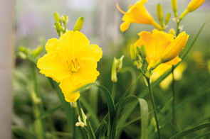 fleur-jaune.jpg
