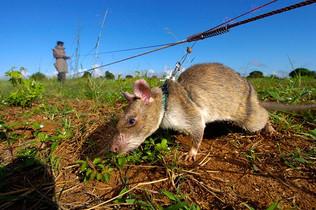 Topi giganti contro le mine