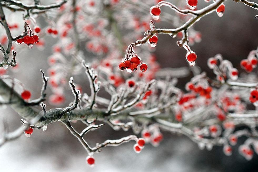 winter berries.jpg