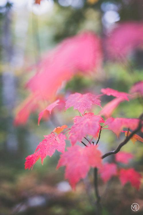 Photo feuille rouge automne au Québec