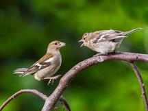 PDI: 'Chaffinch Feeding Chick' by Daniel McCaughan - Donaghadee Camera Club
