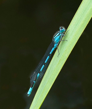 'Blue Damselfly' by Rowland White ( 12 marks )