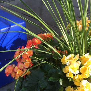 Deep Blue Stairway to Colors Flowering