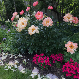 Peonies Peek Out from a Forest of Greenery