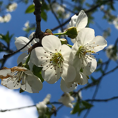 Cherry Blossoms Promise Deliciousness
