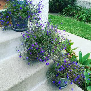 Potted Purple Plants