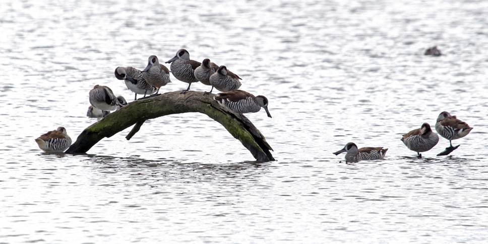 Pink-eared ducks loafing on log