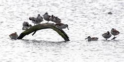 Pink-eared ducks loafing on log