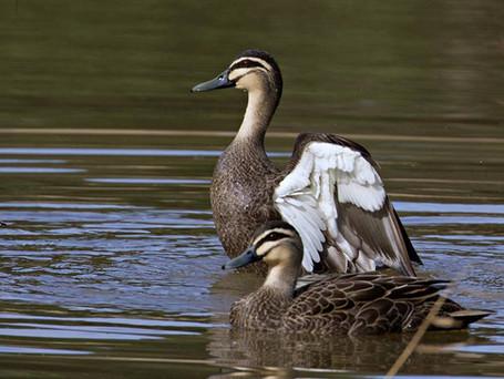Duck Shooting or Democracy?