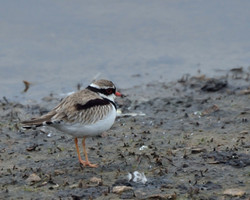 Black-fronted Dotterill