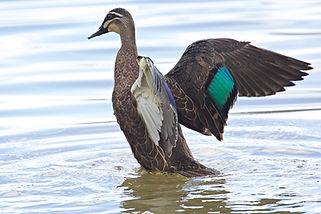 Pacific Black Duck, E Dilley.jpg