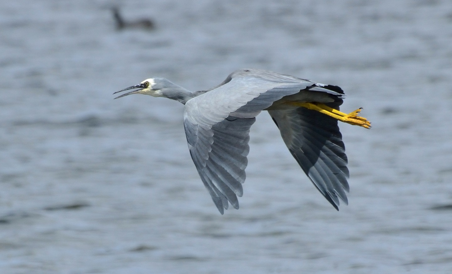 White-faced Heron in flight