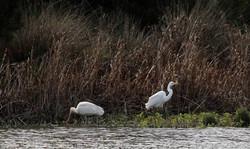 Yellow-billed Spoonbill, Great Egret