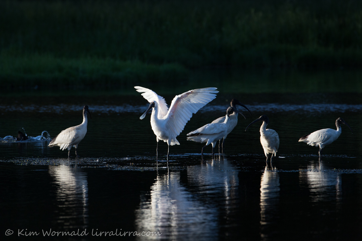 Australian Ibis and Royal spoonbill