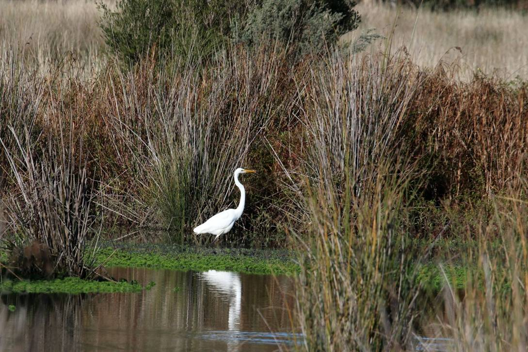 Great Egret E Dilley 2