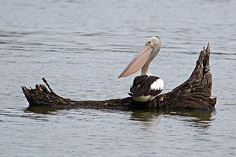 Australian Pelican, Jells Park.jpg