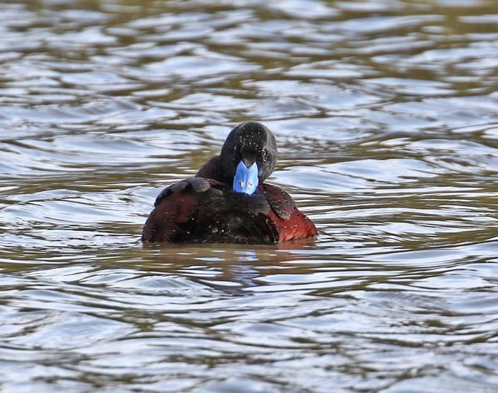 Blue-billed Duck -male
