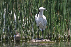 Royal Spoonbill with Grey Teal