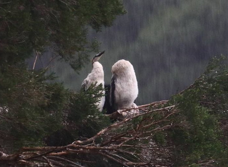 Australian Native Waterbirds Decimated.