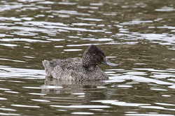 Rare Freckled Duck