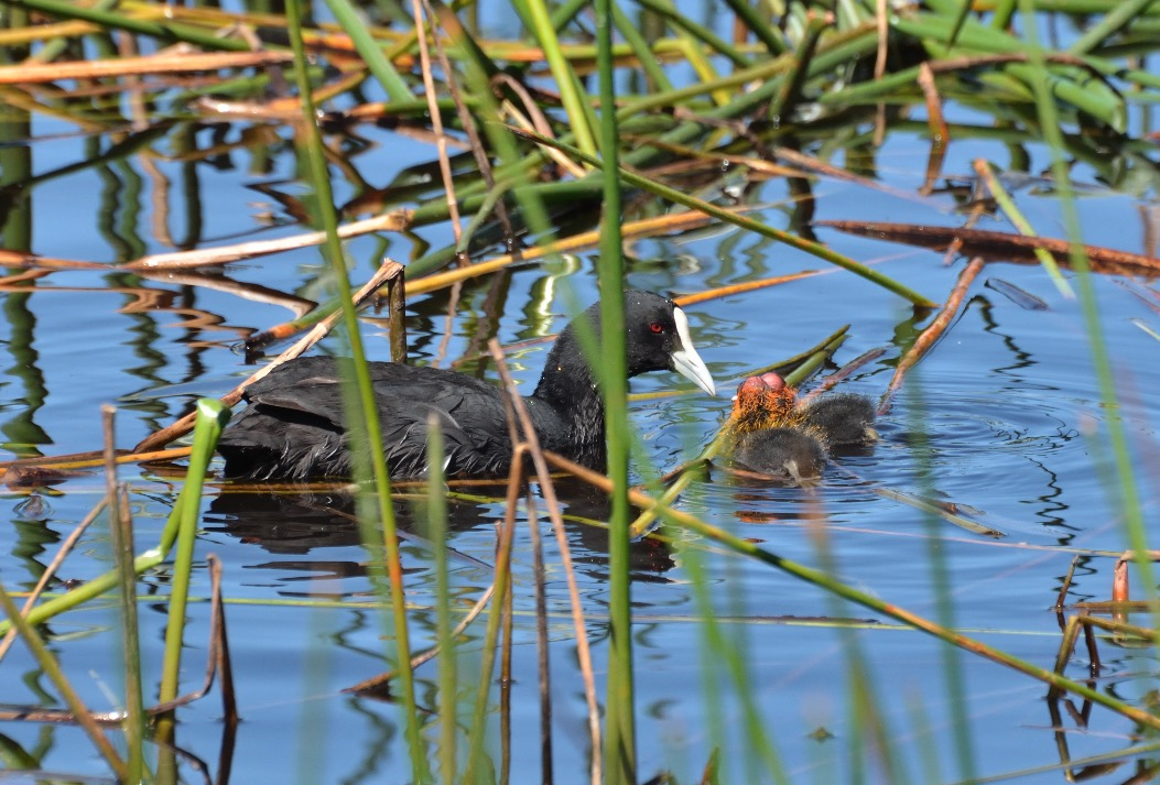 Eurasian Coot with chicks