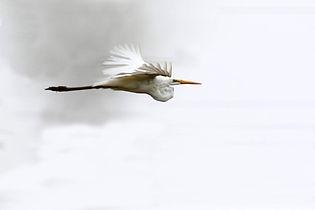 Great Egret in flight 1 E Dilley.jpg