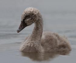 Australian Black Swan cygnet