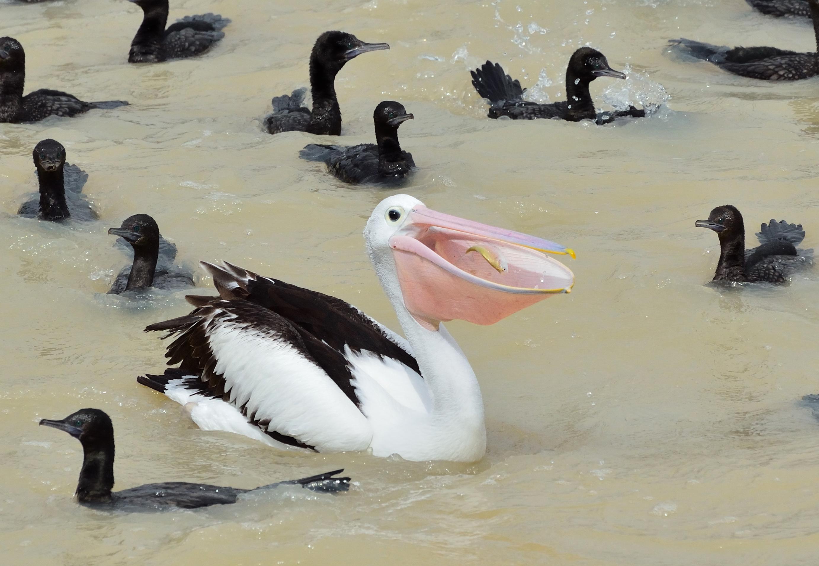 Australian Pelican & friends
