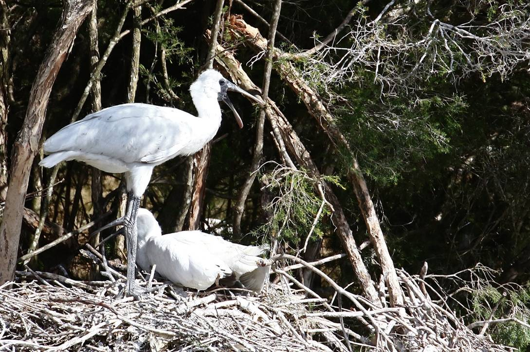 Royal Spoonbill chicks