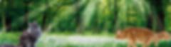 Gattini Maine Coon con pedigree - Allevamento puri di razza