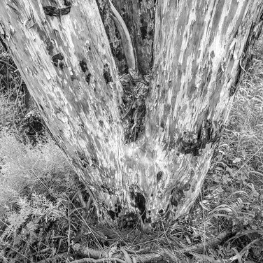 Tree Trunk, Davis Mountains Preserve