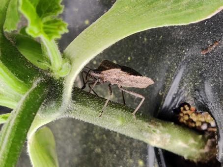 Squash Bug Article