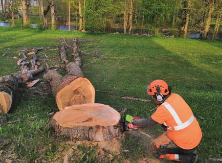 Palju maksab ohtliku puu langetus?