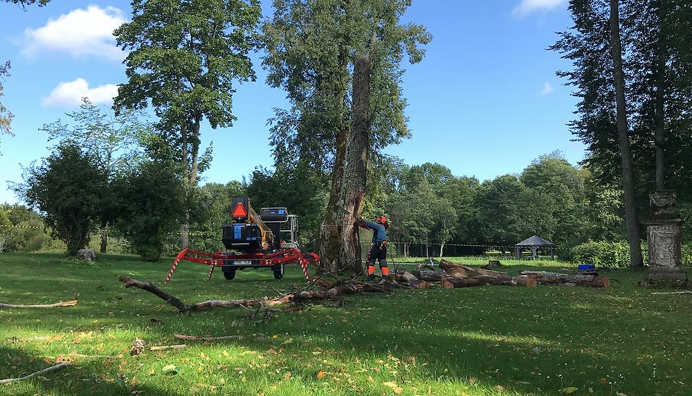 Ohtliku puu langetamine - tüvelõikus.