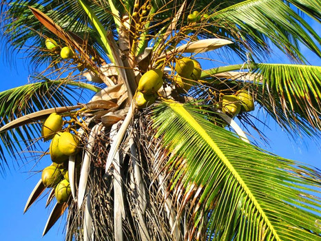 Fresh coconuts year round.